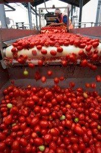 tomato3-jpg